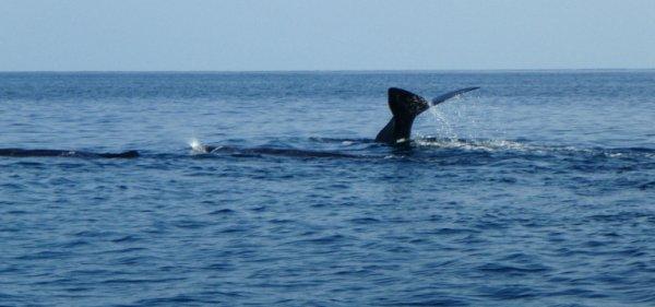 Sperm Whale_15.02.08 (r)