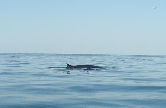Brydes Whale & Calf (1)_31.01.05