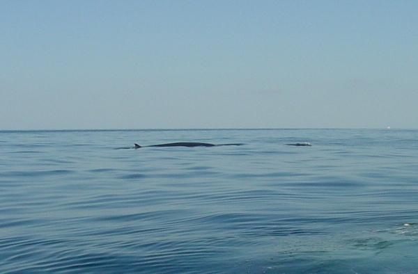 Brydes Whale & Calf (2)_31.01.05 004