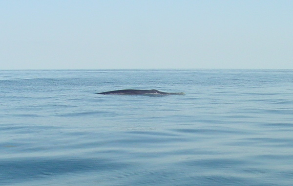 Brydes Whale_31.01.05