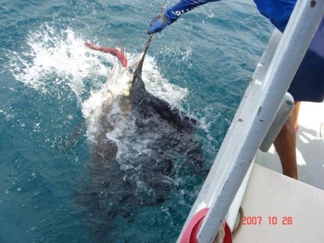 Billing big Sailfish (28.10.07)