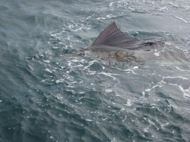 Sailfish at surface (27.10.07)
