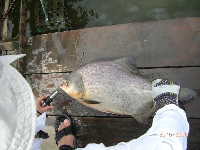 Anthony's Pacu landed (30.05.08)