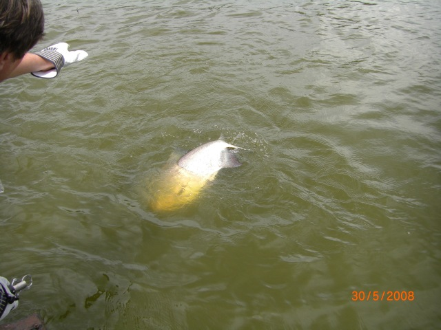 Big Pacu being leadered (30.05.08)