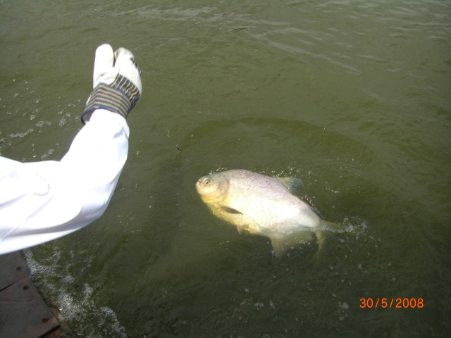 Leadering a decent Pacu (30.05.08)
