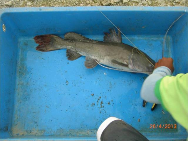 Another species of Catfish [r]
