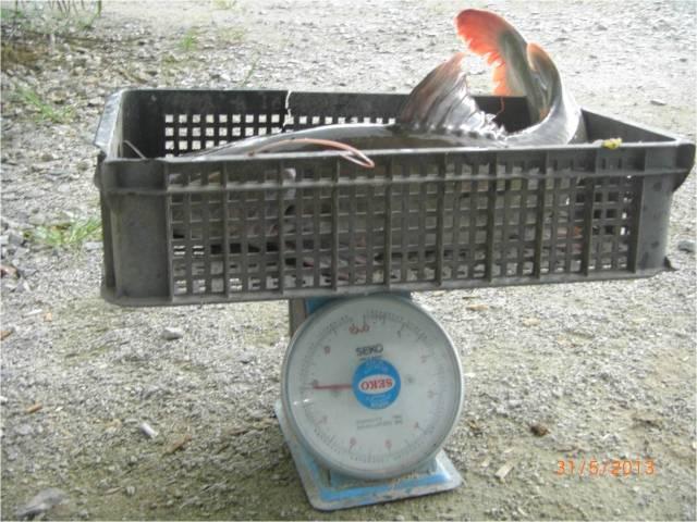 F3_Asian Redtail Catfish 8kg (31.05.13) (2) [r]