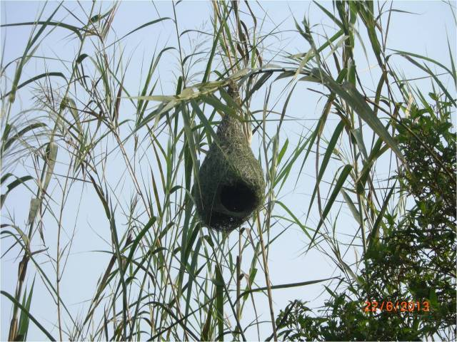 Weaver Bird Nest - J2 Lake (r)