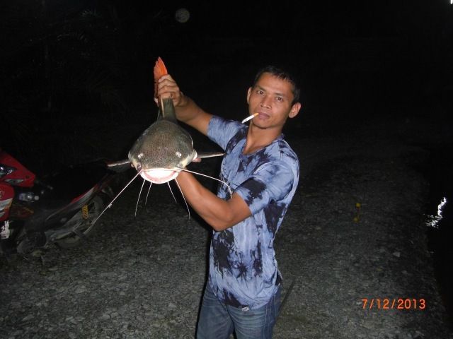 (2)_Amazon Redtail Catfish