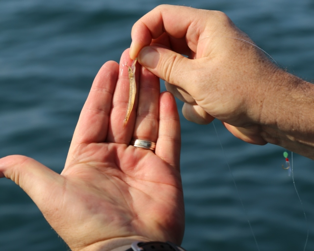 (17) Smallest fish of the day (13.04.14) [crop]