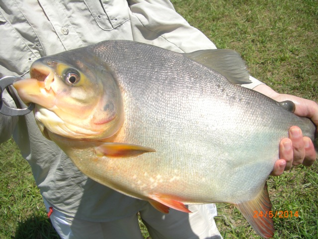 (19)_Pacu on soft plastic lure (24.05.14)