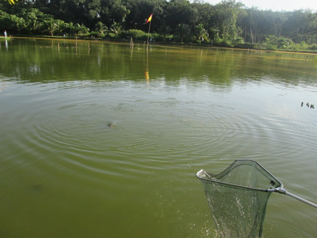 (21)_Snakehead No.1 to the net (07.06.14)