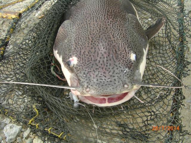 (3)_Amazon Redtail Catfish no.1 (26.07.14)