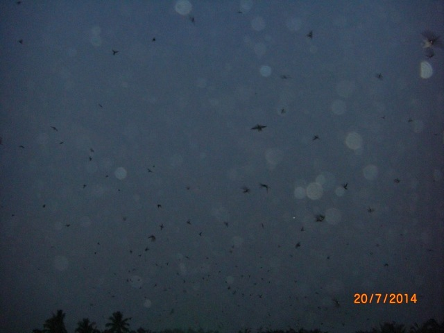 (9)_Swifts hunting mosquitoes (20.07.14)