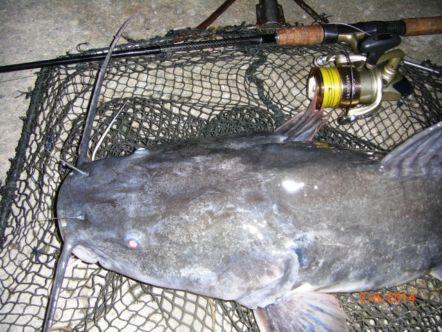 (6)_Asian Redtail Catfish