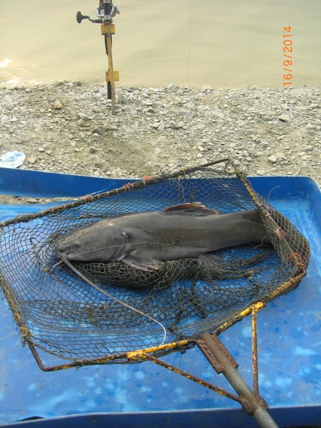 (1)_Asian Redtail Catfish (fish no.1)