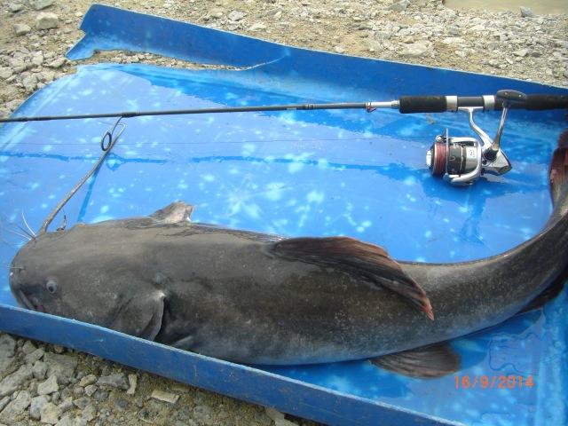 (4)_c.7kg Asian Redtail Catfish (fish no.1)