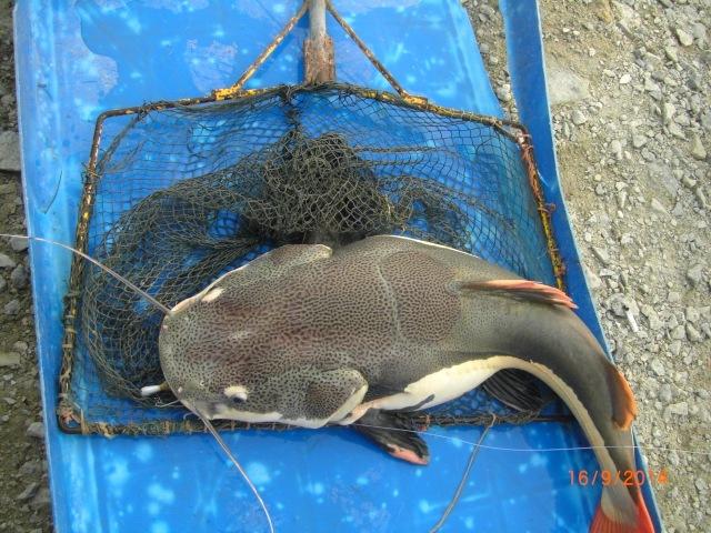 (6)_c. 6kg amazon Redtail Catfish (fish no.4)