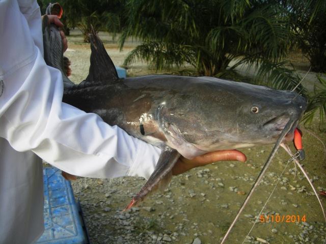 (12)_Asian Catfish no.3 (8kg) [ed]