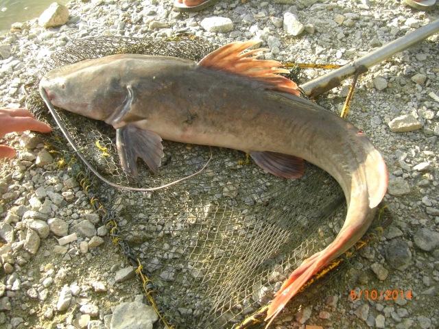 (19)_Asian Catfish no.4