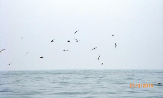 Seabird Frenzy - Port Dickson (21.03.15) (1) [edc]