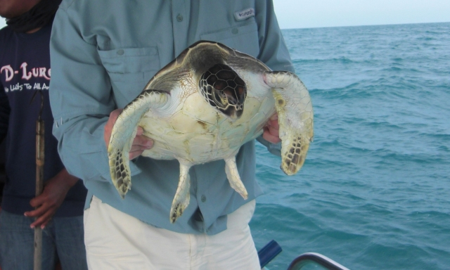 (18)_Green Turtle rescue (18.04.15) [zoom]