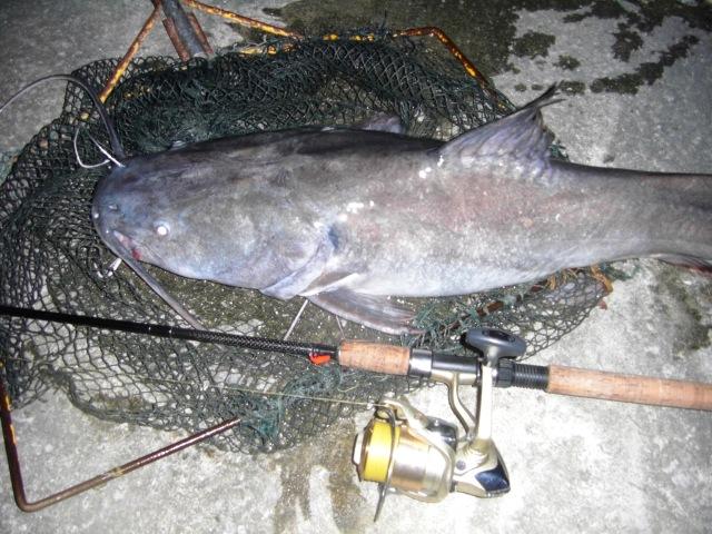 (4)_Asian Redtail Catfish (09.08.15) [ed]