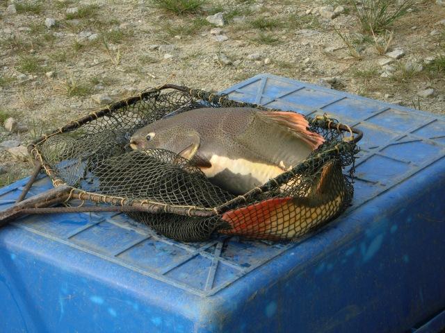 (10) Amazon Redtail_fish no.5 (12.08.16).
