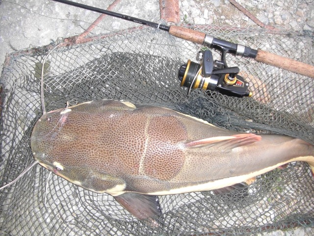 (13) Amazon Redtail_fish no.6 (12.08.16)