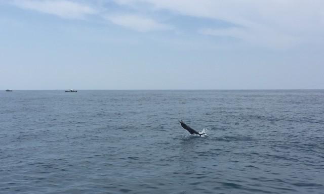 24-sailfish-no-2-18-09-16-c