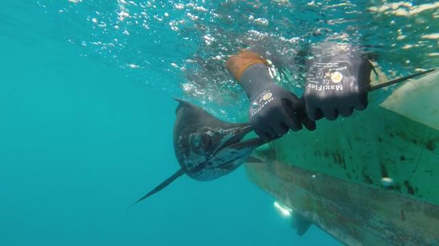 f2-8-sailfish-no-2-screenshot-15-10-16
