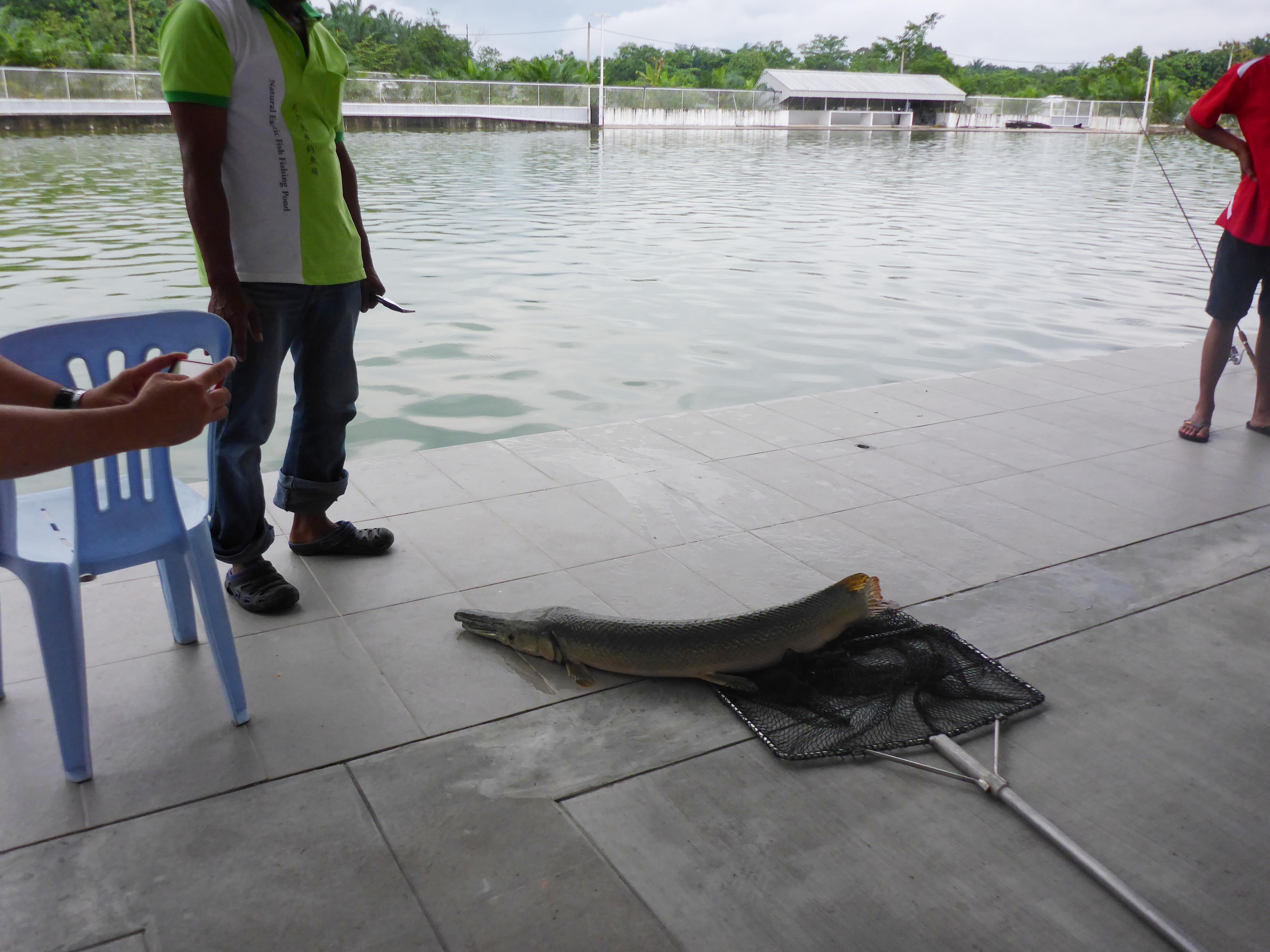 New Natural Exotic Fishing Pond Behrang – Alligator Gar 30 04 17